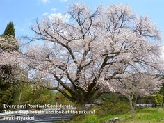 田人の石割桜