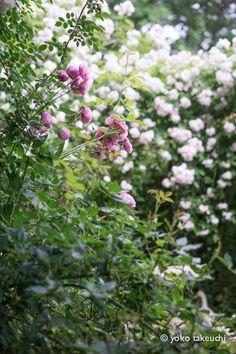 https://flic.kr/p/t9nmHi | rose garden Albéric Barbier