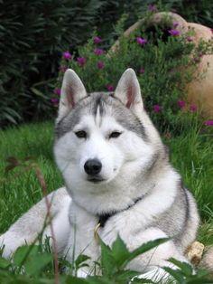 chien husky | Race-de-chien-Husky-sibérien-1.jpg
