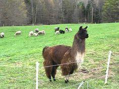 Llama herding sheep and lambs Farm Animals, Funny Animals, Sheep Breeds, Llama Alpaca, Funny Animal Videos, Funny Videos, Sheep And Lamb, The Shepherd, Livestock