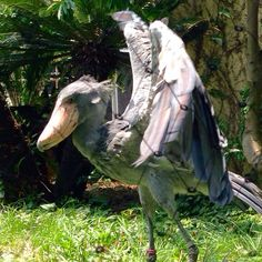 Like many birds the stalking shoebill will spread its wings to startle small animals and reptiles into revealing their location. All Birds, Birds Of Prey, Small Animals, Cute Animals, Shoebill Bird, Bird Perch, Aquatic Plants, Planet Earth, Bird Feathers