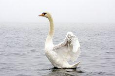 Swan in Ocean