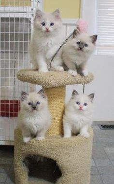 Ragdoll Kittens #mynextcat please! Love how pure they look! ...........click here to find out more http://googydog.com - Spoil your kitty at www.coolcattreehouse.com