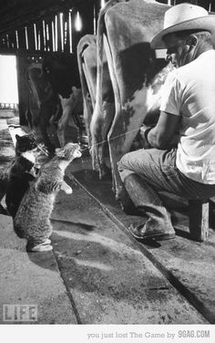 Adorable...My daddy would milk Old Jim (LOL) and shoot the cats' mouths with milk.