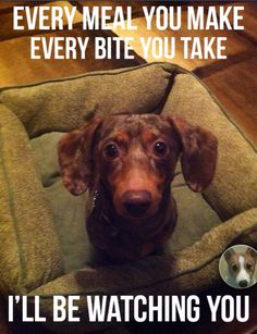 24 Dachshund Memes That Will Totally Make Your Day - Funny Dog Quotes - 24 Dachshund Memes That Wil… Dachshund Funny, Dachshund Puppies, Weenie Dogs, Dachshund Love, Funny Dogs, Cute Puppies, Cute Dogs, Dogs And Puppies, Funny Animals