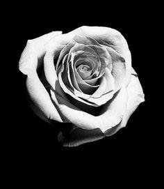 Hai Tattoos, Rose Tattoos, Flower Tattoos, Black Tattoos, Rose Photography, Black And White Photography, Los Mejores Tattoos, Rose Reference, Monochrome