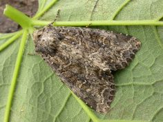 The Moths of Suffolk - 2330 Dusky Brocade, Apamea remissa, (Hübner, Tapestries, Moth, Butterflies, British, Beauty, Hanging Tapestry, Tapestry, Butterfly, Wallpapers