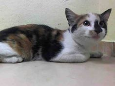 Killed at ACC- TO BE DESTROYED 7/9/14 ** BABY ALERT!! Poor Jinxer is a scared kitten and she needs our help tonight. Please foster, adopt or pledge to save her little life tonight!! ** Brooklyn Center  My name is JINXER. My Animal ID # is A1004468. I am a female torbie domestic sh mix. The shelter thinks I am about 5 MONTHS old.  I came in the shelter as a STRAY on 06/24/2014 from NY 11434