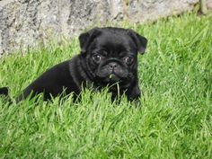Baby Cooper chill in' Black Pug, Pugs, French Bulldog, Chill, Baby, Animals, Animais, Animales, Animaux