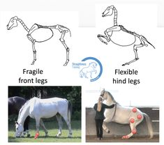 Skeleton of the horse - Straightness Training Horse Exercises, Horse Riding Tips, Horse Anatomy, Show Jumping, Horse Training, Head And Neck, Skull And Bones, Dressage, Skeleton