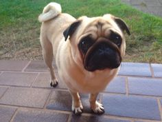 Harry the Pug - Dinner you say? Why yes, I am interested. Very interested.