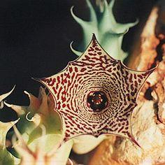 Huernia macrocarpa Attilio