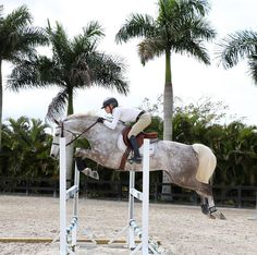 "sandra-dalman: ""She jumps just as good as she is pretty! And so fun!  #derina #kwpn #forsale (at Wellington, Florida) """