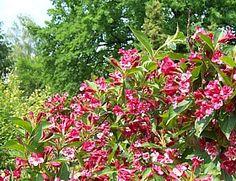 Weigela florida, Weigelie  Deckstrauch Blüht im Sommer