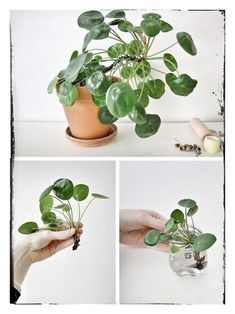 Easy To Grow Houseplants Clean the Air Pilea Peperomioides, Known As Chinese Money Plant, Lefse Plant, Or Missionary Plant