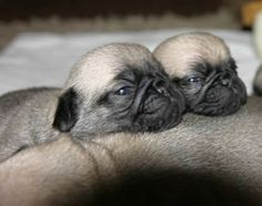 Baby Pugs More
