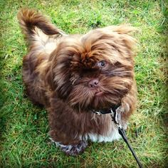 Brown Shih Tzu :) Hector