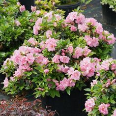 This list of new 2020 shrubs has something for every garden - pretty flowers, variegated leaves, evergreens, and both sun and shade varieties | Shade Perennials Partial Shade Perennials, Shade Flowers Perennial, Shade Loving Shrubs, Flowers Perennials, Shade Plants, Perennial Bushes, Flowering Shrubs, Azaleas Landscaping, Landscaping Ideas