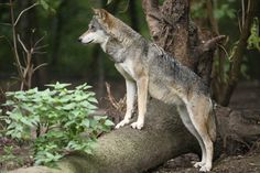 Wolf 6 by Dagonator on deviantART
