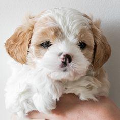 This is my Dog's puppies Booboo!(HE IS SOOOO CUTE!)
