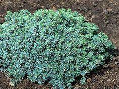 Picea mariana ' Ericoides ' Dwarf Black Spruce