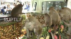"""""""O Grito do Bicho"""": Turismo da Tailândia oferece banquete para macacos..."""