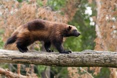 Earthjustice is once again fighting to protect the wolverine, a tough-as-nails creature that's nevertheless extremely vulnerable to climate change and development. The Wolverine, Wolverine Animal, Animals And Pets, Baby Animals, Cute Animals, Lynx, La Martre, Carosel Horse, Animal Adaptations