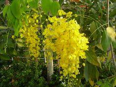 Cassia fistula, la Lluvia de Oro para climas cálidos - http://www.jardineriaon.com/cassia-fistula-la-lluvia-de-oro-para-climas-calidos.html #plantas