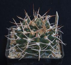 gymnocalycium intermedium