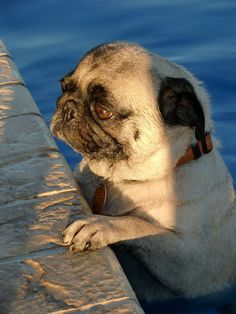 QUESTION 5: Do you want to hug this pug who is having an existential crisis, once he is dried off?   27 Questions That Are Guaranteed To Improve Your Day
