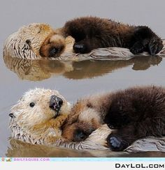 Fun fact:....otters hold hands while they are sleeping so they don't drift away from one another