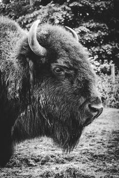 Bison portrait by Natassja Berg Hviid on 500px