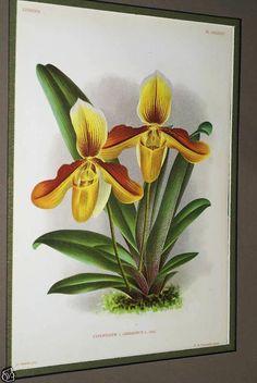 Lindenia Orchid Print Limited Edition Paphiopedilum Cypripedium x Gibezianum B3      $15.31 asmatcollection on ebay.com and bonanza.com cheetahdmr@aol.com if you have any questions.