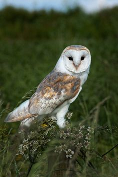 Barn Owl by e_cathedra, taken at the Barn Owl Centre of Gloucester.