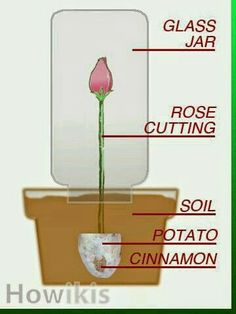 How to grow roses from clippings