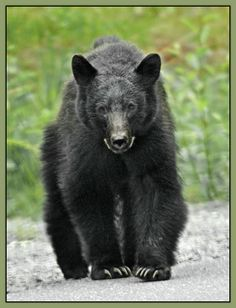 Black Bear   ...........click here to find out more     http://googydog.com