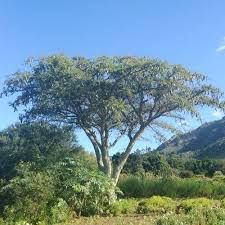 Vachellia (Acacia) sieberiana - Google Search Acacia, Trees To Plant, Country Roads, Google Search, Plants, Tree Planting, Plant, Planets