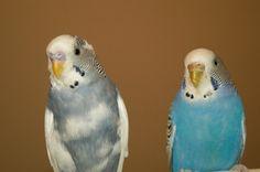 Cute parakeet birds.