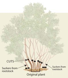 The best lilac pruning article out there. Second page of the article had this diagram as well as a photograph tutorial showing what the gardener means when he is describing how to prune the lilac. Prune Lilac Bush, Lilac Pruning, Pruning Plants, Garden Shrubs, Garden Trees, Lawn And Garden, Garden Plants, Fruit Garden, Roses Garden
