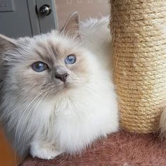 Today is #sundayfunday and in Sweden we celebrate Kattens Dag - Cat's Day. This lilac point is called Luna  @mcfurrball  #birmans #birman #sacredbirman #heligbirma #birmania #birmanie #pyhäbirma #instabirmans #birmansofinstagram #blueeyes #whitecats #fluffycats #instacats #catsofinstagram #cats #kittens #instakittens #kittensofinstagram #lovecats #birmavanner #tabbycats #toocute #beautifulcats #excellentcats #tortiecats #cutepetclub #lilacpoint #lilamaskad #kattens dag