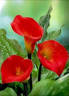 "✯ Red Calla Lilies - ""The Calla Lillies are in bloom again. Exotic Flowers, Amazing Flowers, Beautiful Flowers, Beautiful Gorgeous, House Beautiful, Lilly Plants, Bloom, Calla Lily, Trees To Plant"