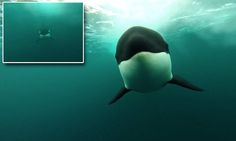 Killer speed! Amazing footage captures an orca hurtling towards an underwater camera at 25mph as it chases a boat   Read more: http://www.dailymail.co.uk/travel/travel_news/article-4654094/Amazing-footage-captures-orca-chasing-boat-25mph.html#ixzz4m1ouTrQz  Follow us: @MailOnline on Twitter | DailyMail on Facebook
