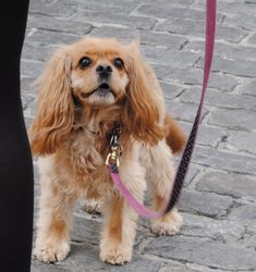 A rather blond ruby Cavalier...or perhaps a cav mixed with a cocker?