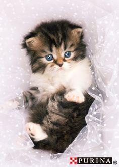 ウェディングだにゃ~♪wedding♪/猫 ネコ cats  (Nestle PURINA ネスレ日本)