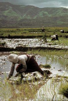Eve Arnold China. Hsishuang Panna. Rice shoot planting. 1979.