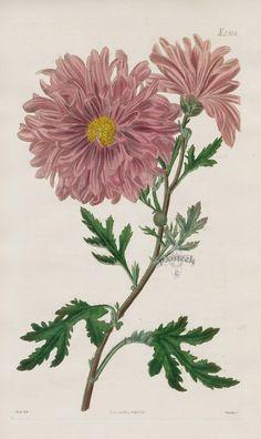 Chrysanthemum from 1815 Curtis Botanical Magazine Red, Orange Highly Decorative Prints