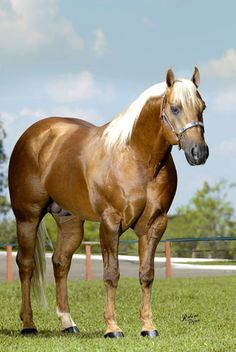 Palomino, All The Pretty Horses, Beautiful Horses, American Quarter Horse, Quarter Horses, Beautiful Love Pictures, Golden Horse, War Dogs, Majestic Horse