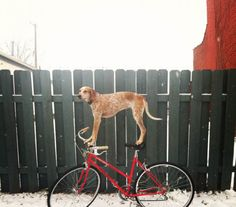 Maddie The Coonhound Standing On Things #photography #dogs