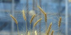 Early research aimed at breeding gluten-free wheat variety; funded by Kansas farmers -- PCH Frontpage