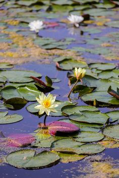 Lily Painting, Dream Painting, Lotus Flower Pictures, Flower Photos, Water Flowers, Water Lilies, Lotus Pond, Lily Pond, Water Garden